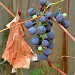 Grapes on the back fence